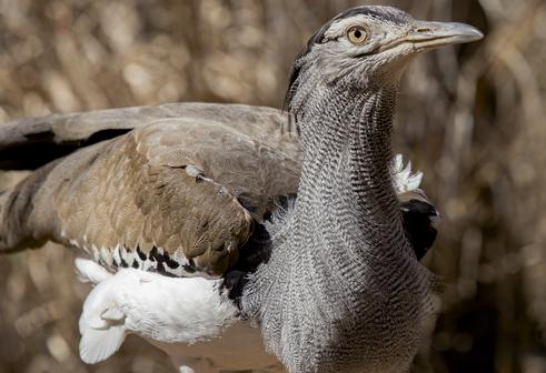 Breeding and Behavior in Captive Kori Bustards