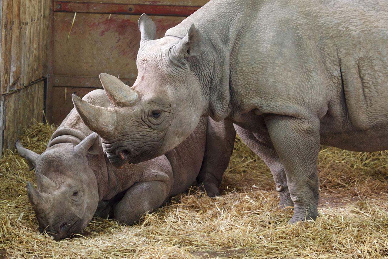 Calf Development and Maternal Behavior in Black Rhinos